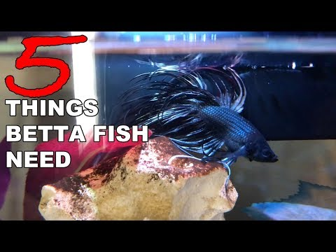 5 Things Betta Fish Need - Betta Care For Beginners