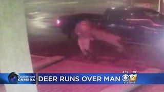 Deer Runs Over A Man! | What's Trending Now!
