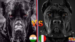 Bully Kutta vs Cane Corso | Cane Corso vs Indian Mastiff | Best Guard Dog | Billa Boyka |