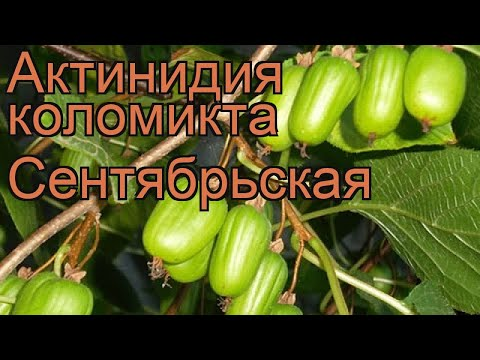Актинидия коломикта Сентябрьская �� обзор: как сажать, саженцы актинидии Сентябрьская