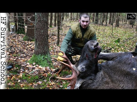 NEW! Driven Moose Hunt In Belarus - Hunting With Siberian Laika - HD Video