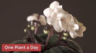 Streptocarpus ionanthus / Saintpaulia ionantha (African violets) Houseplant Care — 233 of 365