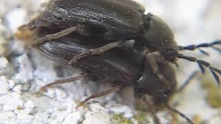 Phytocerum sp.-Cerophytidae- COPULA DE ESCARABAJOS