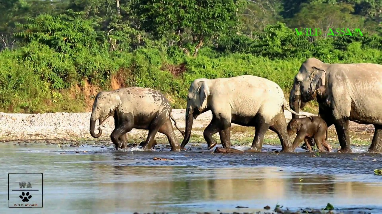 CUTE BABY ELEPHANTS CROSSING RIVER WITH MOTHER