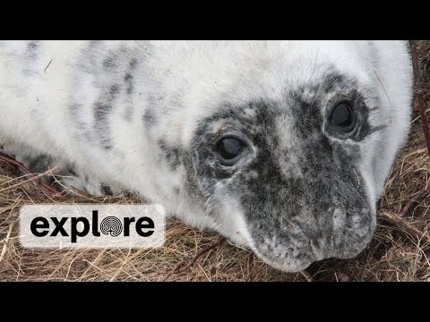 NOAA Gray Seal Expert Stephanie Wood  | EXPLORE LIVE CHAT