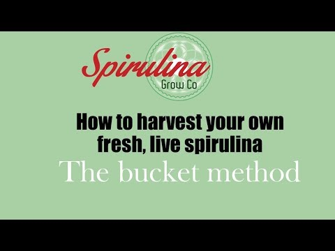 Spirulina harvest bucket method