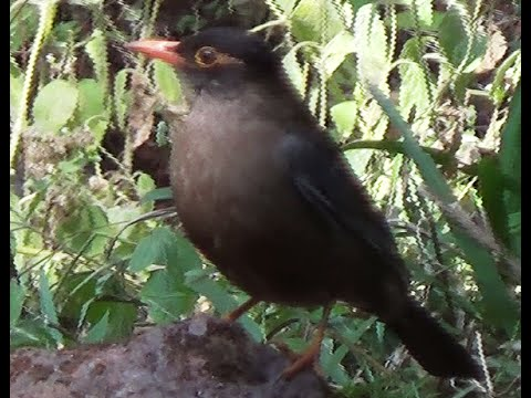 Indian Blackbird & Oriental Magpie Robin Birds