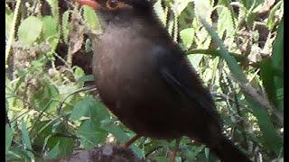 Indian Blackbird & Oriental Magpie Robin Birds