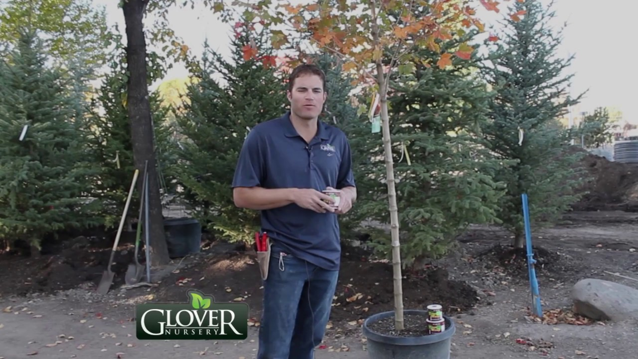 Glover Nursery How To Wrap A Tree For Winter
