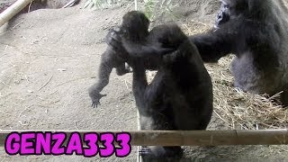 Baby gorilla kidnapping - FUNNY ANIMAL