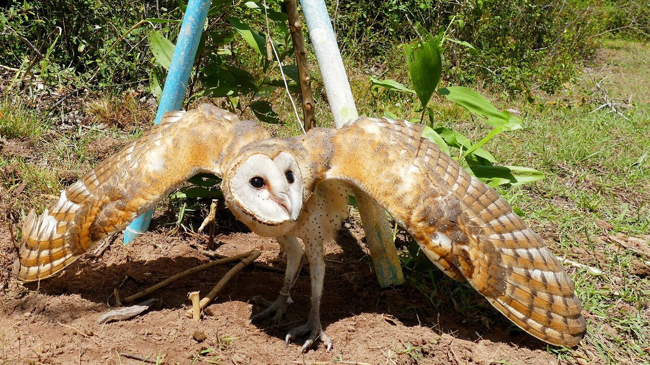 Best Bird Trap Using Perch Snare