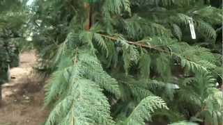 Leyland Cypress 30 sec Plant of the Day - Cupressocyparis leylandii