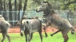 Repeat youtube video ZEBRAS GONE WILD!!! x264