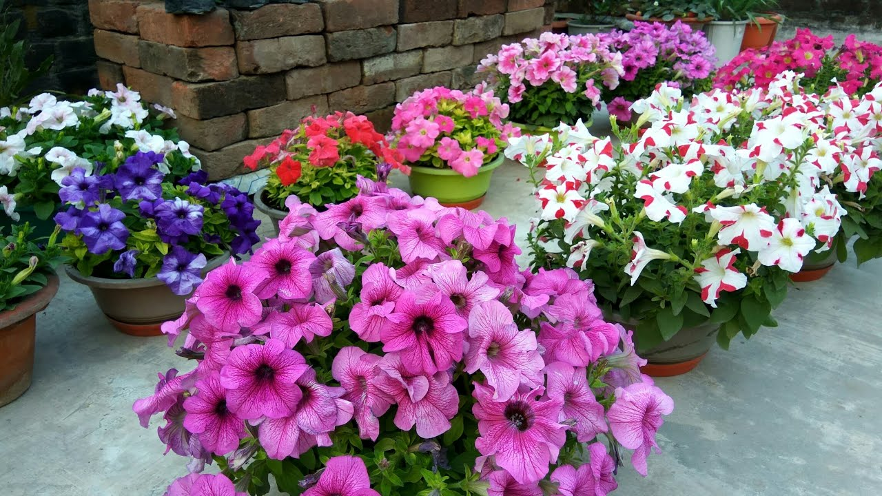 Petunia A Great Winter Flower How To Grow And Care With English Subtitles Youtube