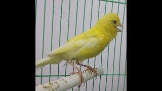 تغريد رائع لكناري أصفر للتدريب  Canary Song For Training