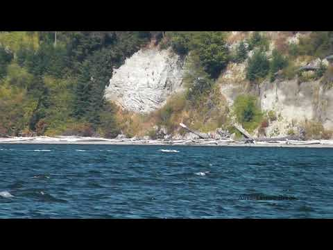 Bigg's/Transient killer whales: T100s - Holmes Harbor/Saratoga Aug 31, 2017