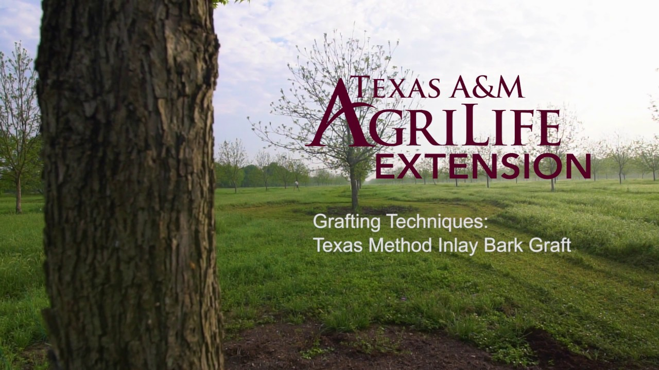 Texas Method Inlay Bark Graft by Texas A&M AgriLife Extension