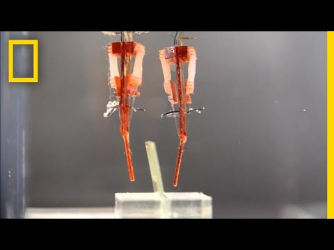 These Robots Use Living Muscle Tissue to Mimic Human Fingers | National Geographic