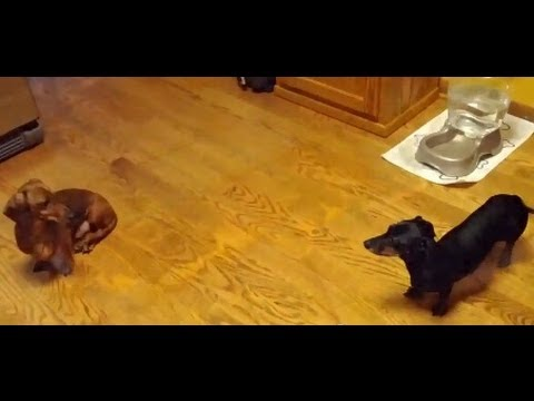 dumb vs. smart wiener dog, part 2