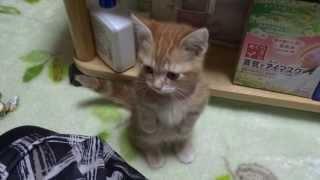 ネズミのおもちゃで遊んでる途中、猫じゃない仕草がww.