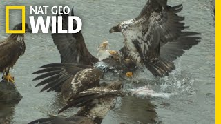 Bald Eagles' Food Fight Captured In Slow-Motion | Nat Geo Wild