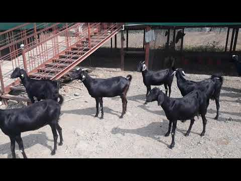 Osmanabadi goats for sell