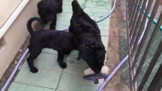 ラブラドゥードルの子犬たち、生後2カ月。毎日お庭で思い切りあそんで...