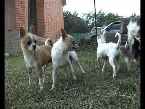 СОБАКИ ПОРОДЫ ЧИХУАХУА / CHIHUAHUA DOGS