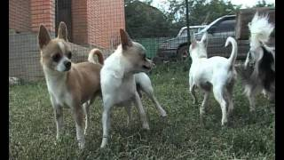 ������ ������ �������� / CHIHUAHUA DOGS