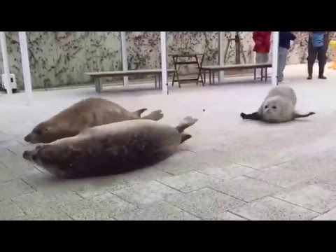 How A Seal Moves On Land