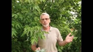 видео Клен гиннала: посадка и уход в условиях, обрезка поросли и методы размножения