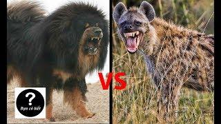 Ngao Tây Tạng vs Linh cẩu đốm, con nào sẽ thắng #10 || Bạn Có Biết?