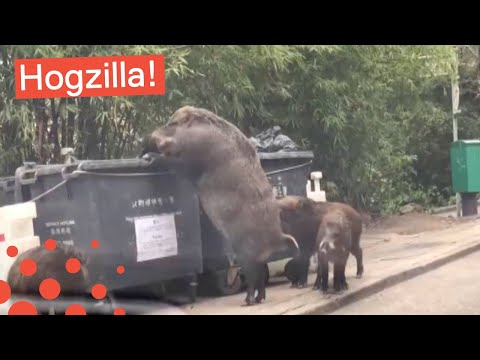 HUGE WILD BOAR SPOTTED IN CHINA