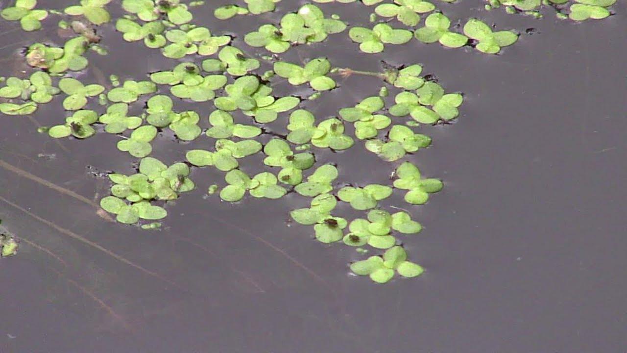 Duckweed live pond plants
