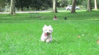 Funny Westie & Pug Playing In Classical Music