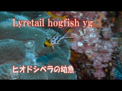 ヒオドシベラの幼魚 Lyretail Hogfish 八丈島 ダイビング