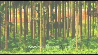 Vanilla plantation in India