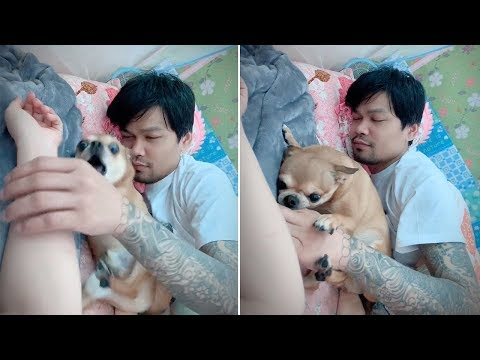 Jealous Chihuahua Stops 'Dad' From Touching His Wife