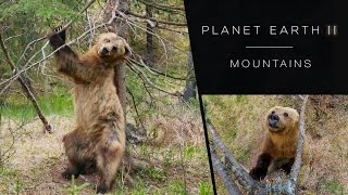 Alberta's bears made famous on BBC's Planet Earth 2 Series - Video thumbnail