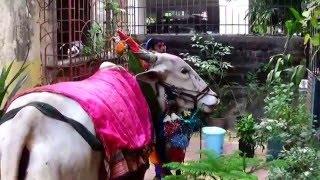 It's Thursday & The Holy Cow (Go Mata) Has Come...Mumbai, India