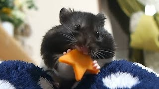 ASMR#10お星さまを食べ続ける咀嚼音が可愛い!おもしろ可愛い音フェチハムスターFunny hamster that keeps eating star is too cute! thumbnail