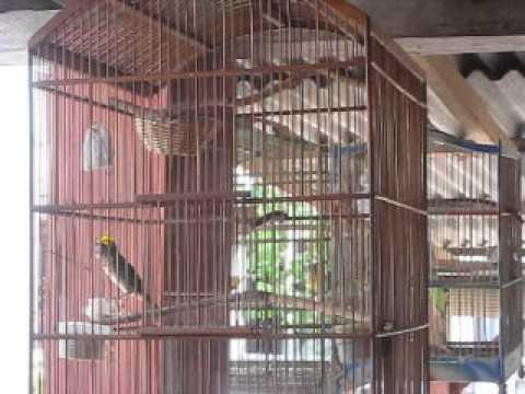 Suara burung manyar yang original