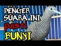 Perkutut Malas Bunyi Langsung Nyaut Perkutut Lokal Gacor Suara Burung Perkutut Lokal  Mp3 - Mp4 Download