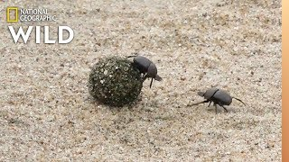 Dung Beetles Battle for a Ball of Poop | Nat Geo Wild