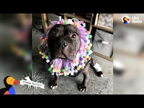 Pit Bull Rescued From Dogfighting Slowly Turns Into The Happiest Pup   The Dodo Pittie Nation