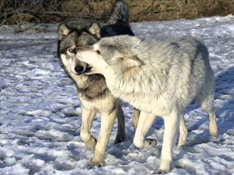 Волчица и Чёрный принц