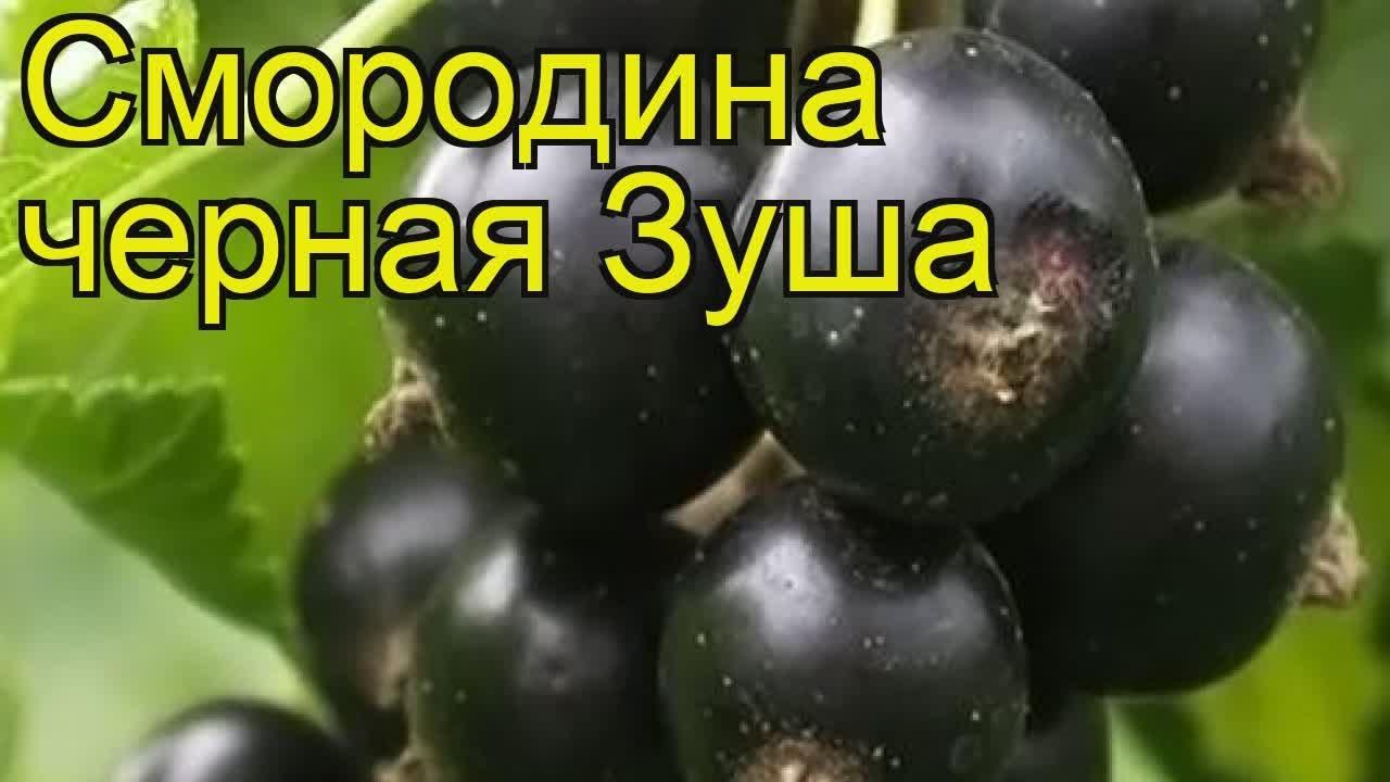 Саженцы черной смородины, выращиваем в питомнике и продаем саженцы по низким ценам.
