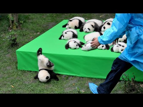 AWW SO CUTE!!! BABY PANDAS Playing With Zookeeper | Funny baby pandas | Baby panda falling