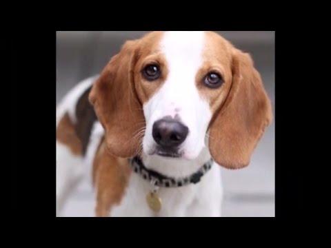 DOG BREEDS RASE LIST #E: ENGLISH COCKER SPANIEL DOG, ENGLISH TOY SPANIEL DOG, EURASIER   DISCOVER