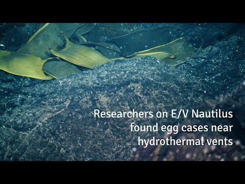 Deep-Sea Skates Incubate Eggs Near Hydrothermal Vents  | Nautilus Live